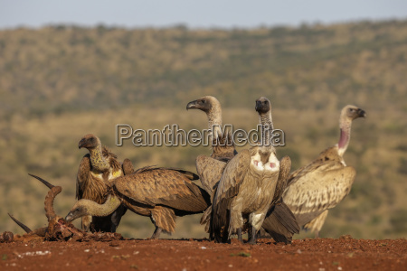 whitebacked vultures gyps africanus at carcass