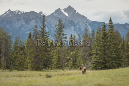 elk with rocky mountains in the