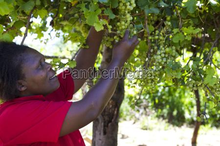 a female farmer picking some grapes