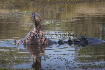 hippopotamus hippopotamus amphibius with terrapins kruger