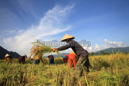 farmers working in rice fields in
