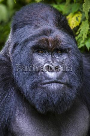silverback mountain gorilla gorilla beringei beringei