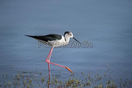 black winged stilt himantopus himantopus ranthambhore