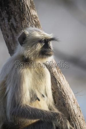 langur monkey semnopithecus entellus rajasthan india