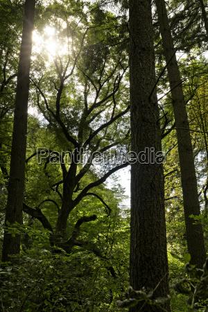 ancient oak in tiergarten near boitzenburg