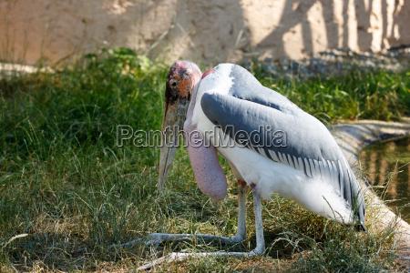 marabou stork leptoptilos crumenifer large wading