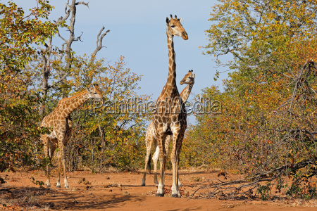 giraffes in natural habitat