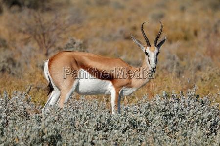 springbok in natural habitat