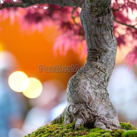 tree trunk bonsai tree japanese maple