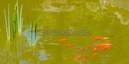 goldfish swim in a pond with