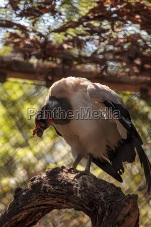 king vulture sarcoramphus papa