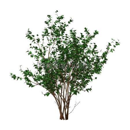 3d rendering hibiscus bush on white