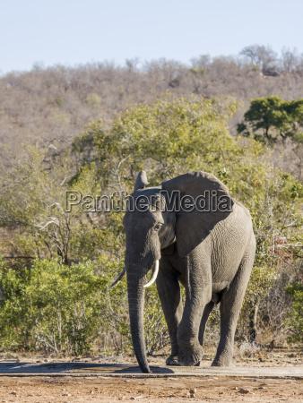 loxodonta africana wild elephant drinking and