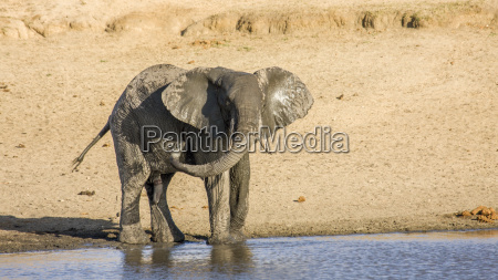 african bush elephant walking and drinking