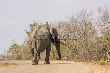 african bush elephants crossing the road
