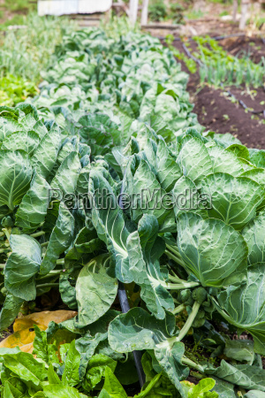 brussels sprouts plant brassica oleracea at