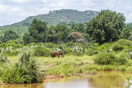 loxodonta africana african bush elephant in