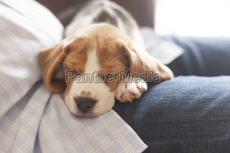 beagle puppy snuggling on knees connecticut