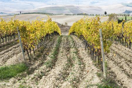 italy tuscany san quirico dorcia vineyard