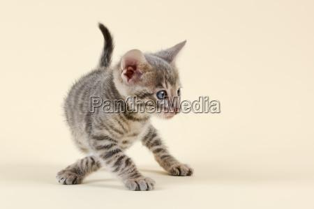 cat toyger 22883