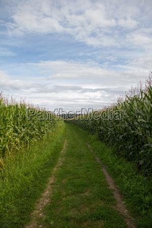 field road between corn fields on