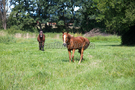 brown horses in a meadow in