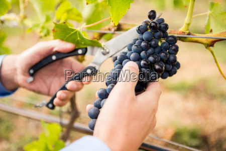 cropped hands of man cutting grapes