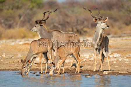 kudu antelopes at a waterhole
