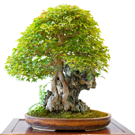 trident maple acer buergerianum as a