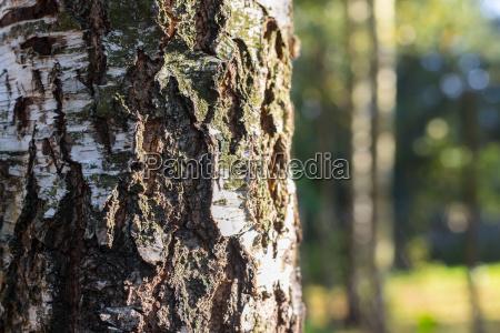 birch forest background in sunlight
