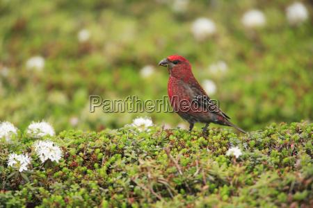 close up of red pine grosbeak