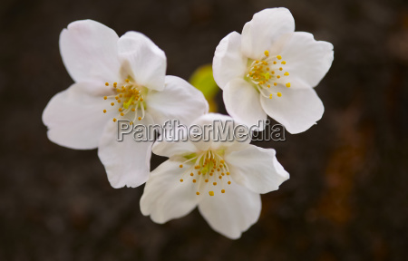 close up of white japanese cherry