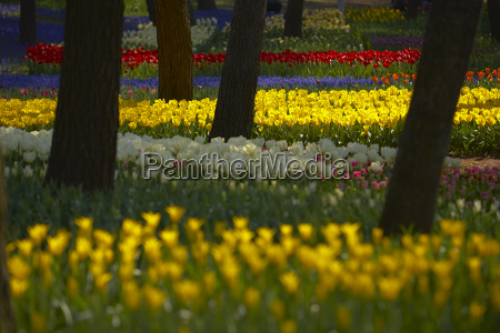 carpet of tulips in a variation