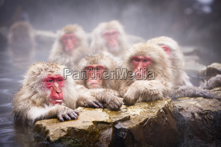 group of japanese macaque snow monkey