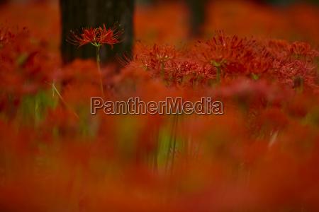 close up of vibrant red higanbana