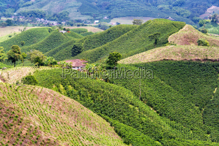 coffee covered hills