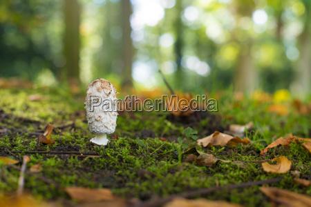 shaggy ink cab mushroom