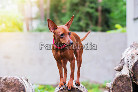 portrait of red miniature pinscher dog