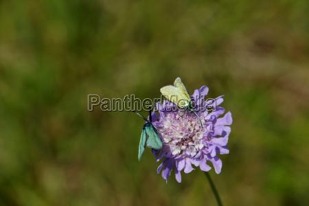 field widows flower knautia arvensis with