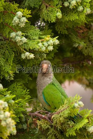 ms monk parakeet parrot myiopsitta monachus
