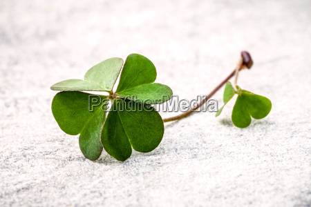 clovers leaves on stone the