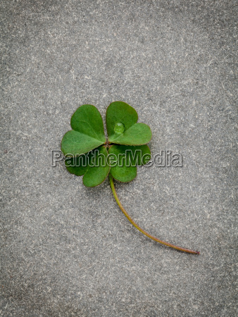clovers leaves on stone backgroundthe symbolic