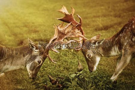 closeup of deer fight
