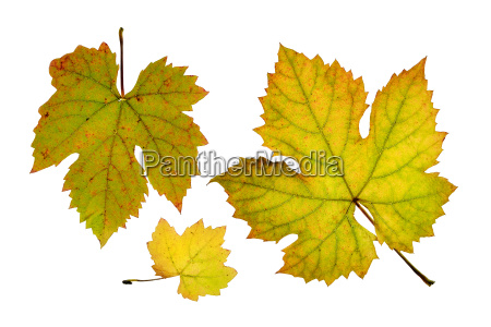 close up of vine leaves in