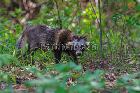 racoon dog in danube delta