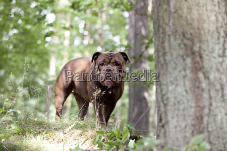 olde english bulldogge standing in forest