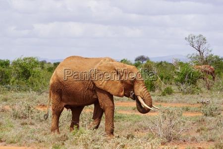 elephants in tsavo east kenya