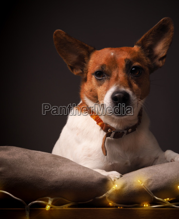 terrier with christmas lights