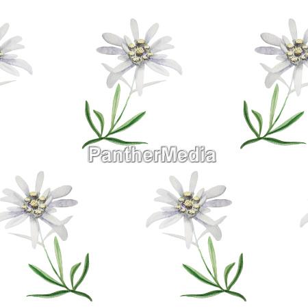 edelweiss flower symbol alpinism alps germany