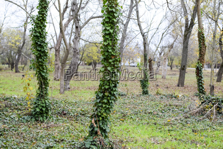 ivy grows on the trunk of
